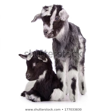 Two Baby Goats Napping Stock photo © rhamm