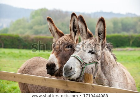 two donkeys Stock photo © mariephoto
