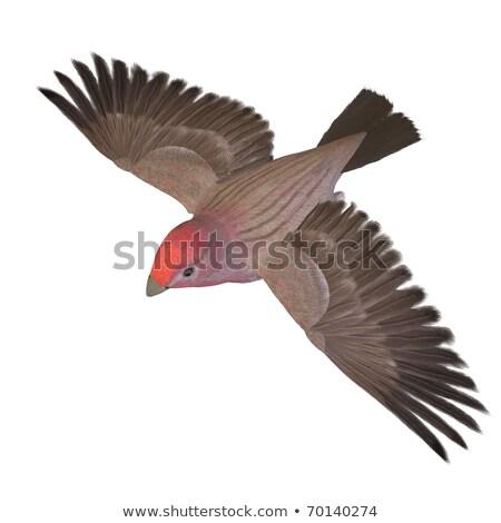 Finch bird flying - 3D render Stock photo © Elenarts