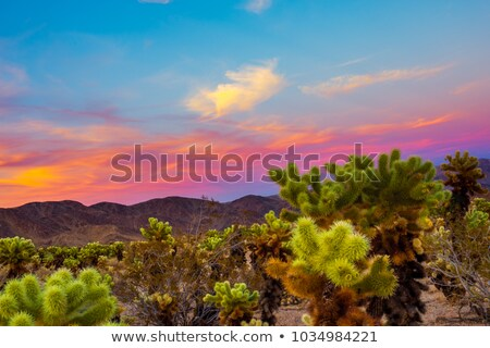 Mojave desert cholla cacti Stock photo © emattil