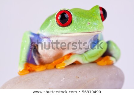 frog on a rock isolated on black Stock photo © alptraum