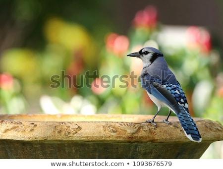 Jay in garden Stock photo © Hofmeester