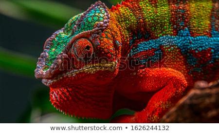 Panther chameleon Stock photo © sailorr