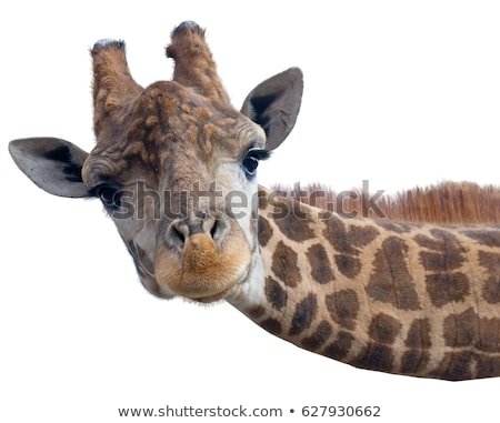 Giraffe grappig gezicht naar zoals gezicht mond Stockfoto © fouroaks
