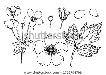 Blossom windflower stock photo © olandsfokus