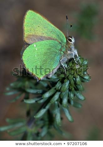 The Green Hairstreak, Callophrys rubi stock photo © t3rmiit