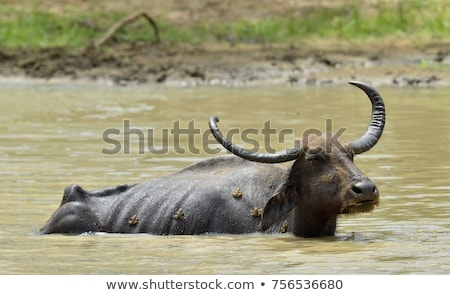 Bubalus arnee cattle in a pond Stock photo © Sportactive