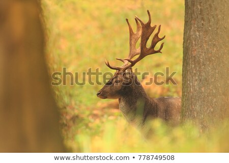 fallow deers in mating season Stock photo © taviphoto