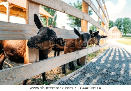 Chèvres regarder sur écurie mur Photo stock © meinzahn