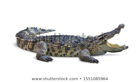 Krokodil kettő zöld krokodilok fehér víz Stock fotó © bluering