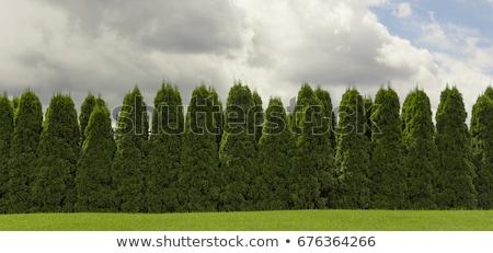 Thuja rows Stock photo © simply