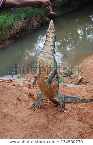 sri lankan lizard stock photo © zambezi