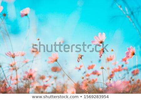primavera · prado · flores · amarelas · montanhas · céu · flor - foto stock © mmarcol
