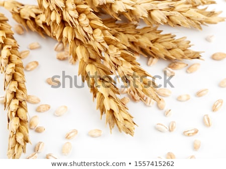 Wheat ears and grains after harvest Stock photo © stevanovicigor
