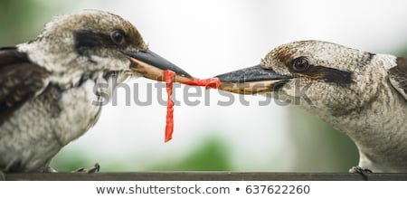 Stock photo: Kookaburras fighting for food during the day.