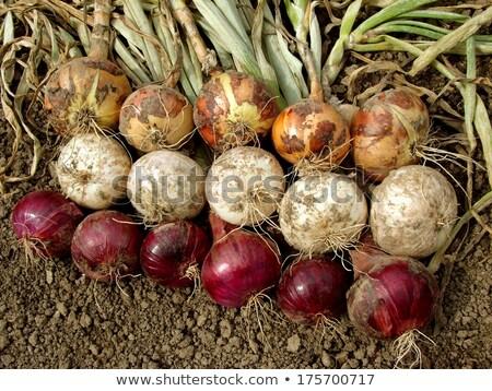 野菜 · パッチ · 庭園 · 広場 · 足 · ガーデニング - ストックフォト © is2