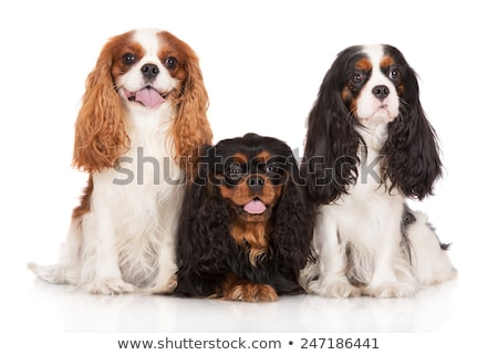 black and tan cavalier king charles Stock photo © cynoclub
