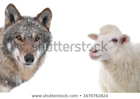 Lupo adulto bianco cane farm pecore Foto d'archivio © cynoclub