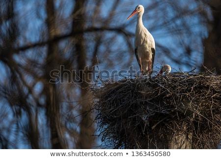 Elegáns fehér gólya évszak elfoglalt elvesz Stock fotó © lightpoet