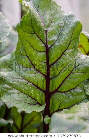 ビートの根 · 成長 · いい · 植物 · 野菜 · パッチ - ストックフォト © sarahdoow