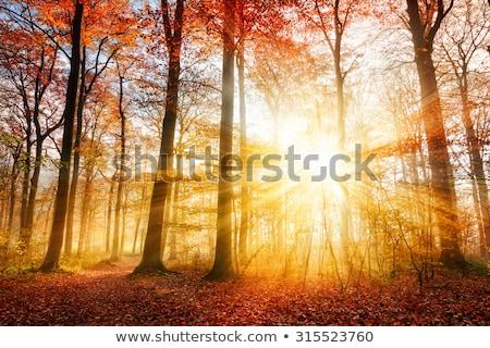 Güneş ışınları buğu ağaçlar orman ağaç Stok fotoğraf © LianeM