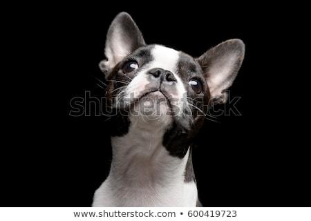 Portrait of an adarable Boston terrier Stock photo © vauvau