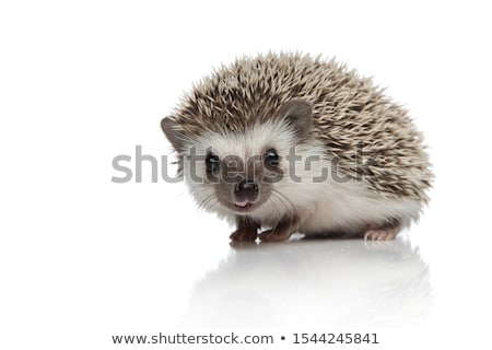 Hedgehog Walking, Animal with Prickly Needles Stock photo © robuart