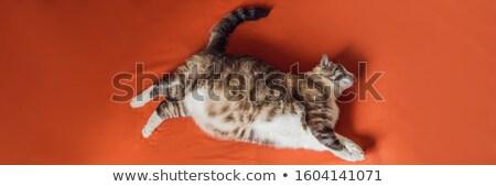 Grasse chat obèse mensonges orange couverture Photo stock © galitskaya