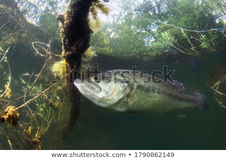 Balıkçı bas balık tutma atlama yukarı siyah beyaz Stok fotoğraf © patrimonio