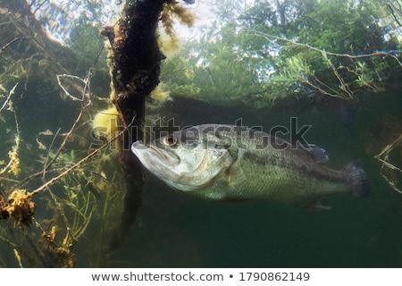 Fisherman Bass Fishing Catching Largemouth Jumping Up  Black and White Retro Stock photo © patrimonio