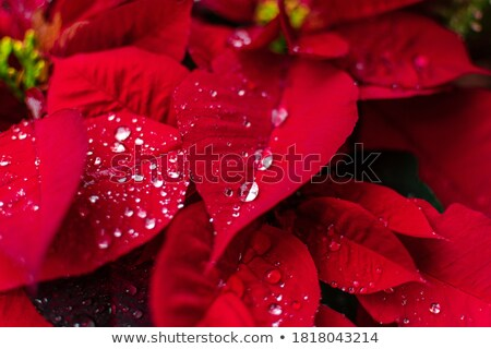 Regendruppels Rood bloem groene natuur blad Stockfoto © mroz