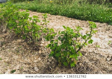 茂み · 黒 · スグリ · 液果類 · 自然 - ストックフォト © oksix