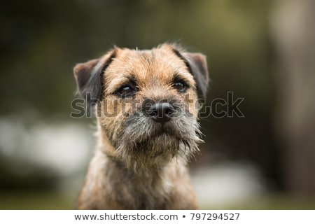 Border terrier Stock photo © CaptureLight