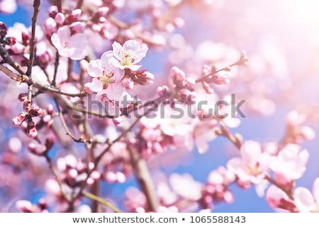 Closeup of pink crab apple blossom buds stock photo © sarahdoow