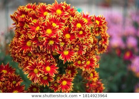 Chrysant zomer groene Rood najaar kleur Stockfoto © kawing921