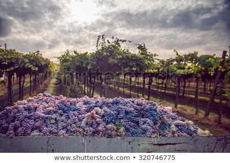 収穫 ブドウ 葉 夏 作業 赤 ストックフォト © ABBPhoto
