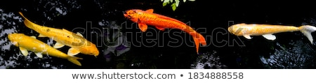 Bekko Koi Stock photo © LittleLion