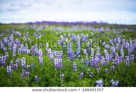Light Purple Lupine Flowers Stock photo © tainasohlman