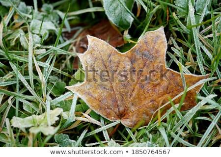 Klon mróz zielona trawa pokryty liścia trawiasty Zdjęcia stock © ryhor