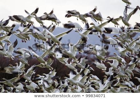 リフト オフ 雪 ギース 飛行 ストックフォト © billperry