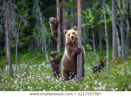 Niedźwiedź brunatny oka drewna lasu kamień zęby Zdjęcia stock © maros_b
