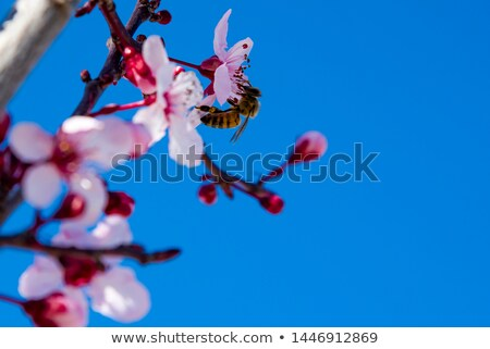 Bee Flying филиала миндаль цветы вертикальный Сток-фото © rglinsky77