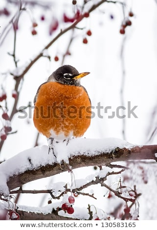 Snow Covered Crab Apples Stock photo © songbird