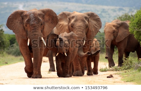 young elephant walking to the group stock photo © compuinfoto