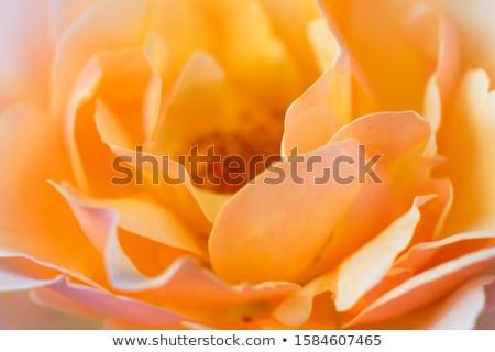 narancs · rózsa · virágzik · szirmok - stock fotó © kubais