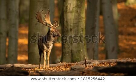 肖像 · 小さな · 鹿 · バック · 自然 · ファーム - ストックフォト © fotoyou