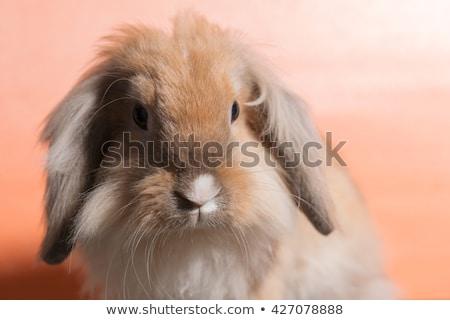 Rabino decorativo azul cabelo coelho jovem Foto stock © OleksandrO