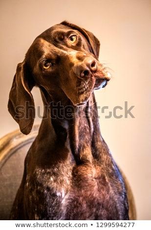 confused pointer dog  Stock photo © patrimonio