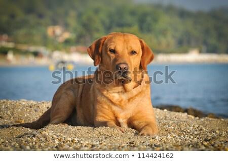 Portret labrador retriever groen gras gazon tuin hond Stockfoto © CaptureLight