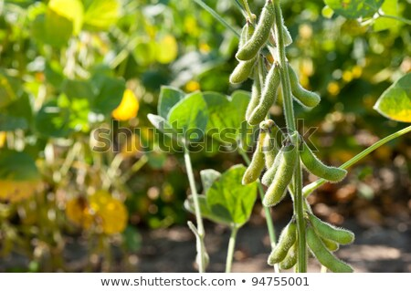 field beans soybeans in early autumn with farm   Stock photo © flariv